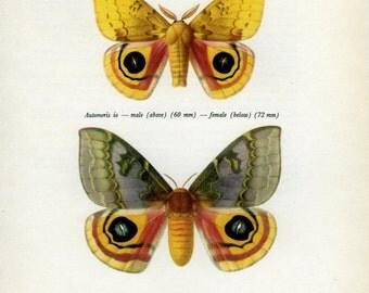 Vintage Moth Print, (57) Prochazka, 1966, Butterfly, Lepidoptera, Natural History, Frameable Art