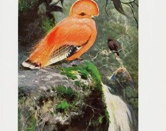 1910 Antique CLIFFS BIRD print,  beautiful orange bird, original antique circa 100 years old print