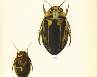Beetle Print, Insect Art Illustration, Natural History, Wall Decor, Book Plate, Entomology, Insect, Platambus Maculatus, A-3