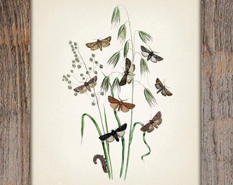 Moth Series no.1  - 8x10 - Fine art print of a vintage natural history antique illustration