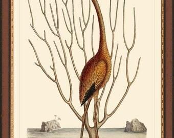Flamingo antique 12 x 16 bird print reproduction