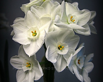 Paperwhite Narcissus Flowers, Spring Flowers, Photograph, 8x10, Metallic Print