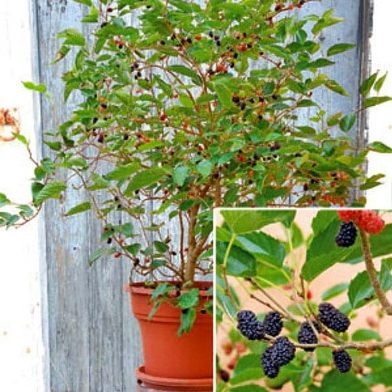 Dwarf everbearing mulberry tree morus nigra mulberry plant description dwarf everbearing mulberry bush sciox Image collections