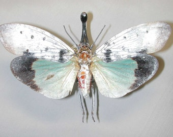 OVERSTOCK: Real Lanternfly, Pyrops clavata mizunumai