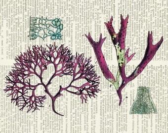 seaweed - Irish Moss II print