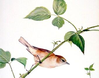 Garden Warbler, Blackcap - Bird Print - 1976 Vintage Book Page Garden Birds