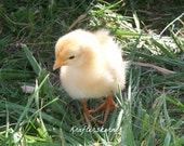 Photo Print Baby Chick 4 x 6, 5 x 7, or 8 x 10