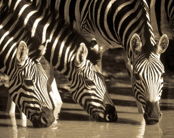 Zebra photograph, African art, wildlife photography, stripes, lines, pyjamas, sepia, black and white, drinking, water, nature print