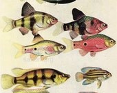 Vintage Double Sided Chart of Tropical Fish Breeding Colors and Aquatic Plants