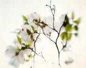 Still life photography, Dogwood flower, spring decor, white print - 8x8 photograph