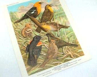 Vintage Bird Print, Bird Portraits In Color, Walter Alois Weber, Yellow Headed Blackbird, Mid Century Wildlife Picture, Woodland   (308-13)