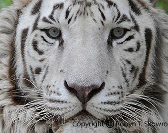 Dusty - The White Tiger - 4x6 Fine Art Photograph