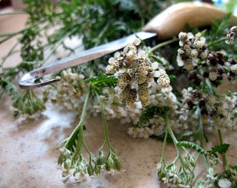 Yarrow Flowers Dried Herb 1 ounce free shipping when ordered with another item