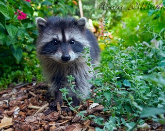 Baby Raccoon - 8.5 x 11 Photographic Print
