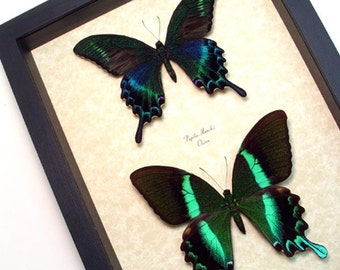Real Metallic Green Butterfly Set Conservation Display 1098