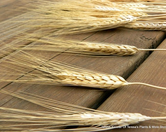 Triticum Dried Wheat Bundle of  50+ stems-Golden Natural Wheat stalks-About an 8 oz bundle