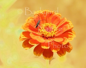 Spring Blossoms Note Cards, Nature Photographs, Zinnia Photo Note Cards, Poppy Photographs, Fine Art Photographs