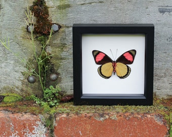 Framed Spring Butterfly Display Batesia hypochlora