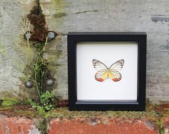 Framed Butterfly Display Yellow Orange Garden Painted Jezibel