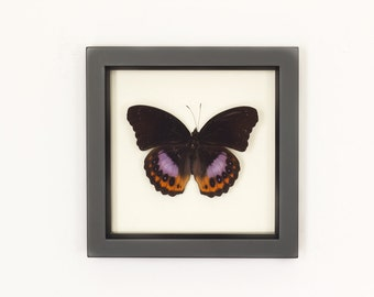 Framed Butterfly Display Hypolimnas pandarus