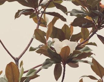"Magnolia print, tree, tea tone, leaf green, shade, white, beige, nature, natural, brown, yellow, sky, fine art photograph 8""x12"""