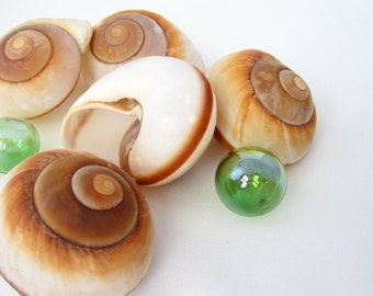Beach Decor XL Muffin Snail Shells - Nautical Brown Land Snail Seashells - 1PC