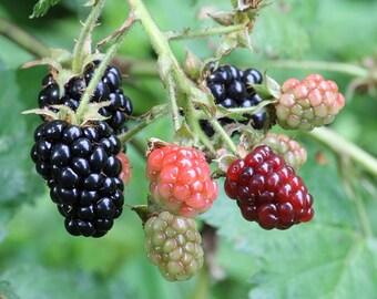 """wild blackberry 12-18"""" bareroot plant"""