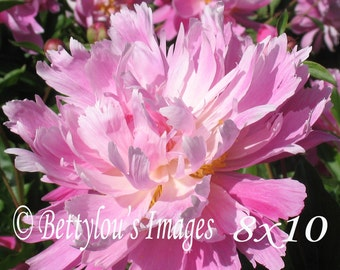 Ruffled Peony Print or Note Card
