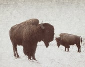 Animal Photography Buffalo Bison Animal Portrait of a Buffalo 11x14 archival photograph
