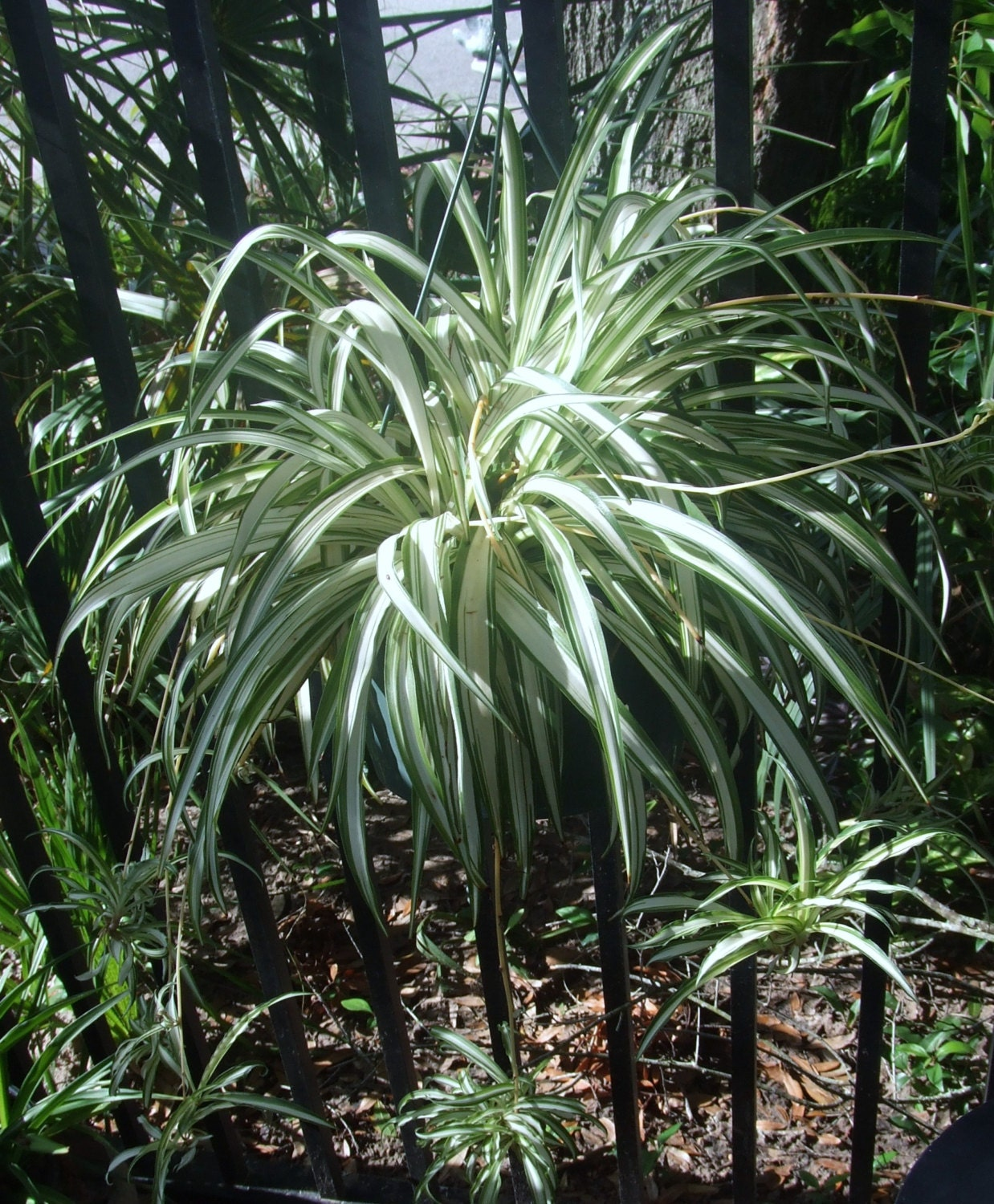 Spiderplant Care: Unavailable Listing On Etsy