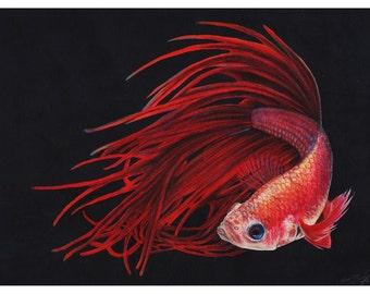 Red Fire  - 8x10 Fine Art Print - Betta Fish