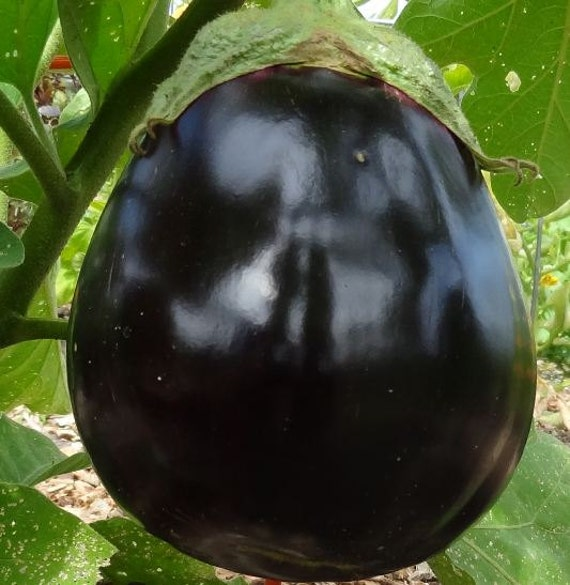 Eggplant, Black Beauty Seeds - Heirloom Beauty Perfect Home Garden Variety