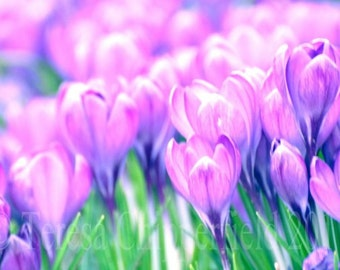 Pretty Purple Crocus, Spring is Here, Fine Art Photography Print, Floral Wall Art, Flower photo Print, Abstract Home Decor, 16 x 24, 8 x 12,