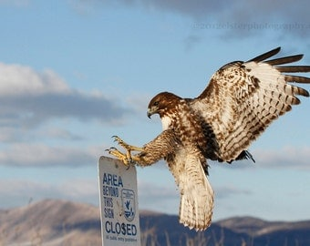 Incoming Redtail Hawk