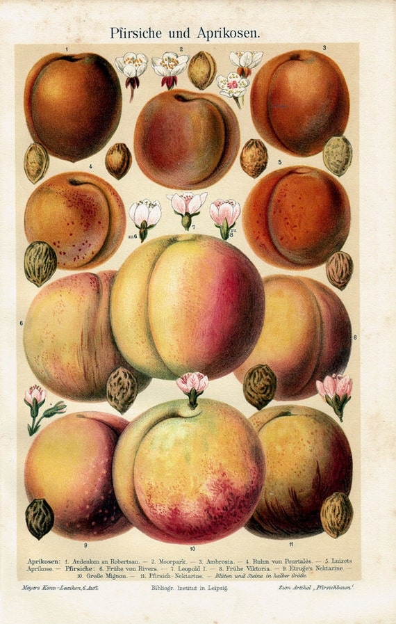 1894 Antique FRUIT print, PEACH,  Apricot, peaches with its seeds and flowers, fine lithograph with bright colors