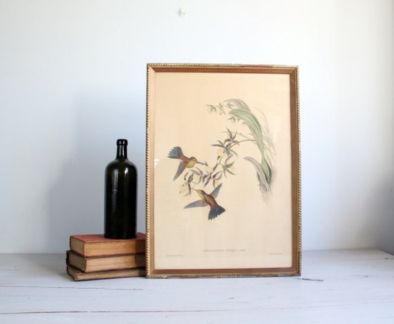 antique hummingbird botanical litho / j. gould, wall art
