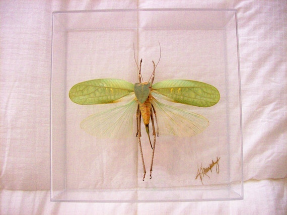 Real Amazing Seafoam Green Giant Grasshopper