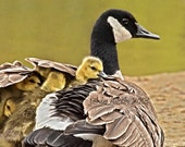Beneath Her Wings 11x14 Fine Art Print - Canadian Geese - Baby - Gosling