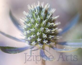 Blue Flower Art, Sea Holly Photo, Flower Photography, Blue Flower Wall Art, Flower Wall Decor, Shabby Chic, Eryngium, 8x10 Print