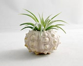 Sea Urchin Air Plant // Natural