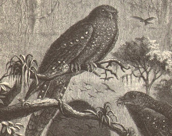 1900 Guacharo, Oilbird or Tayo Original Antique Engraving to Frame