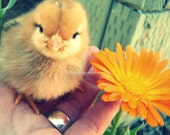 Dollar Digital Adorable Baby Chick Photograph Somadlyinlove Instant Download 4 Photographs
