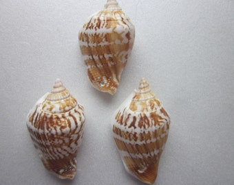 Spiral Shell Beads 9-20mm Large Chunky Sea Shell 10 Beads