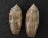 Two Medium Olive Shells in Beige, Brown, and White.