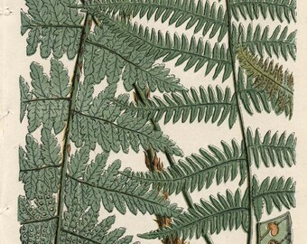 150 Year Old BOTANICAL CHROMOLITHOGRAPH Plate 6 British Ferns Thomas Moore