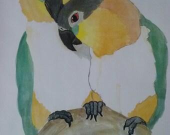Black Headed Caique Watercolor Print