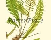 Deer Fern ART CARD antique botanical print reproduction 507
