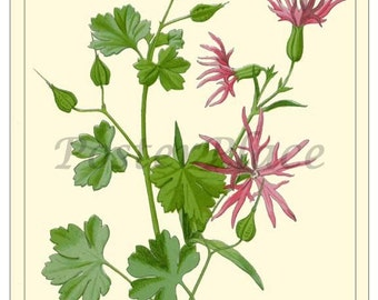 ART CARD - Ragged Robin botanical print reproduction 2109