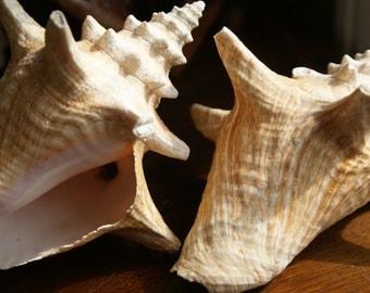 Vintage Shells. Wedding Collection. Cream and Tan with Salmon Hues. Beautiful Shape. Coastal Living. Beach Wedding