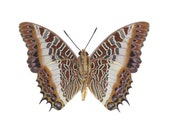 Real Butterfly Wings for crafting and art projects - Charaxes Brutus butterfly